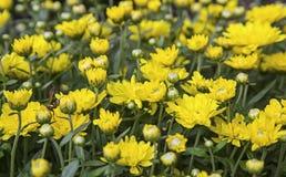 Blom- tapet för gula krysantemum Arkivbild