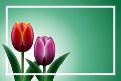 blom- tulpan för bakgrund Royaltyfri Foto