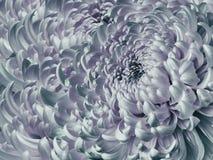 Blom- turkos-rosa färger bakgrund Blå krysantemumnärbild för blomma Krysantemumkronblad royaltyfri fotografi
