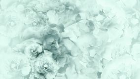 Blom- turkos-vit bakgrund Turkos-vit blommar pioner blom- collage vita tulpan för blomma för bakgrundssammansättningsconvolvulus Arkivfoto