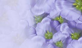 Blom- vårvioletbakgrund Vit tulpanblomning för blommor Närbild greeting lyckligt nytt år för 2007 kort Arkivbild