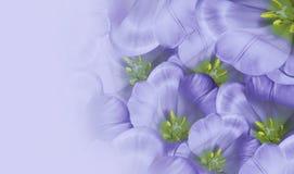 Blom- vårvioletbakgrund Vit tulpanblomning för blommor Närbild greeting lyckligt nytt år för 2007 kort placera text Royaltyfria Foton