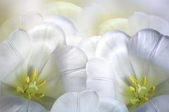 Blom- vårvit-guling bakgrund Vit tulpanblomning för blommor Närbild greeting lyckligt nytt år för 2007 kort Royaltyfri Fotografi