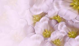 Blom- vårvit-rosa färger bakgrund Vit tulpanblomning för blommor Närbild greeting lyckligt nytt år för 2007 kort arkivbilder