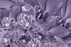 Blom- violett bakgrund av dahlior ljus blomma för ordning En bukett av purpurfärgade dahlior Fotografering för Bildbyråer