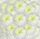 Blom- vit-guling bakgrund Bukettblommor av ljusa vita krysantemum Närbild Arkivbild