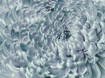 Blom- vit-turkos bakgrund Blå krysantemumnärbild för blomma Krysantemumkronblad royaltyfri fotografi
