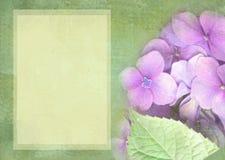 Blom- vykort för vanlig hortensia Användas som hälsningkort, inbjudan för att gifta sig, födelsedag och annan kan att hända för f Royaltyfri Fotografi