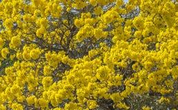 blom- yellow för bakgrund Royaltyfria Foton