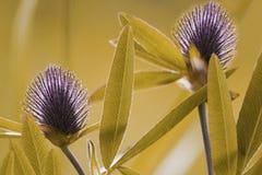 blom- yellow för bakgrund Purpurfärgad växt av släktet Trifolium för vildblommor på en bokehbakgrund Närbild slapp fokus arkivbild
