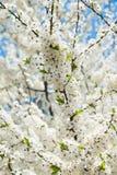 Blomblommor av det körsbärsröda trädet i vår Fotografering för Bildbyråer