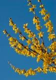 blomforsythia Royaltyfri Bild