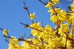 blomforsythiafjäder Royaltyfri Fotografi