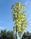 Blomhuvud av en palmliljaväxt med öppna blomningar och blå himmel fotografering för bildbyråer