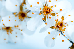 Bloming apple flowers Royalty Free Stock Images
