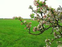 Bloming apple tree in the springtime with green green grass Royalty Free Stock Photos