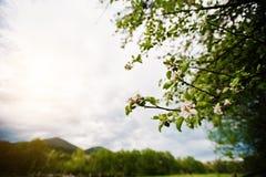 Bloming-Blumen-Apfelbaum Stockbild