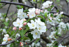 Bloming branch of apple tree Royalty Free Stock Photography