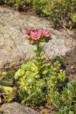 Bloming-sempervivum Anlage im Garten Stockbild