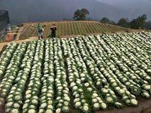 Blomkålblommaträdgård Mountain View på Benguet royaltyfria bilder