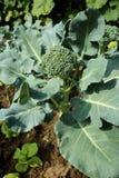 Blomkålbroccoli planterar att växa i en grönsakträdgård Royaltyfri Fotografi