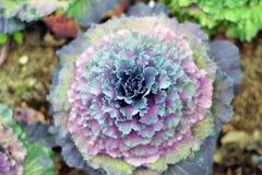Blomkålfält Arkivfoto