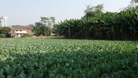 Blomkålfält i nordliga Thailand Arkivfoton