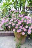 Blomkruka av astercordifoliusen - rosa blommor under blomningsäsong i botanisk trädgård Royaltyfri Foto