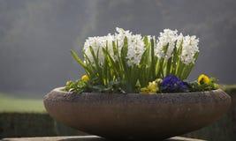 Blomkruka med vita hyacinter Arkivfoto