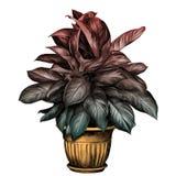 Blomkrukaaglaonemaen skissar vektorn vektor illustrationer