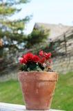 blomkrukaredro Royaltyfri Bild