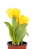 blomkrukatulpanyellow Royaltyfria Foton