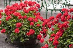 Blomkrukor med röda pelargon Royaltyfria Foton