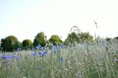 blommaäng med blåklockor Royaltyfria Foton