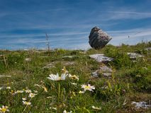 Blommaängen av ett stort vaggar framme i Irland arkivbilder