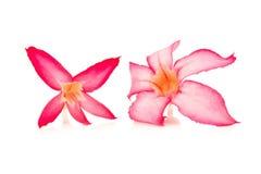blommaöknen steg den rosa bigononiaen för ro som isolerades på den vita backgrouen Arkivfoton
