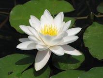 blomma Royaltyfri Fotografi