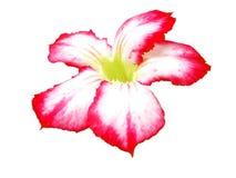 Blomma - Adenium Arkivfoto