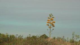 Blomma agaveväxten med havet i bakgrunden arkivfilmer