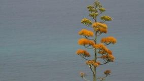 Blomma agavev?xten med havet i bakgrunden arkivfilmer