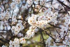 Blomma aprikors i vårnärbild royaltyfri foto