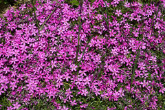 Blomma Aubrieta Arkivbild