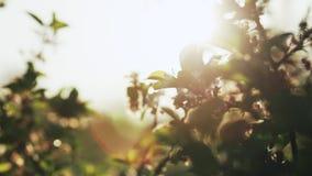 Blomma av äpplet i trädgården arkivfilmer