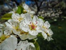 Blomma av äppleträdet (Malusdomesticaen) Arkivfoton