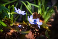 Blomma av blåsippan Fotografering för Bildbyråer