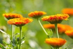 Blomma av calendulaen Royaltyfria Bilder
