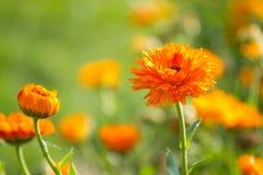 Blomma av calendulaen Fotografering för Bildbyråer