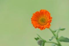 Blomma av calendulaen Royaltyfri Foto