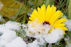 Blomma av calendulaen i snö Arkivbilder