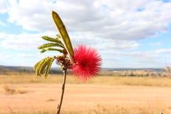 Blomma av Cerradoen Royaltyfri Bild